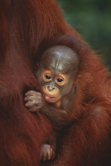 Baby Orangutan Holding onto Mother-DLILLC-Photographic Print