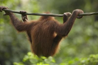 Baby Orangutan, Sabah, Malaysia-Tim Fitzharris-Photographic Print