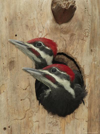 Baby Pileated Woodpeckers Peer from the Tree Hole Nest-George Grall-Photographic Print