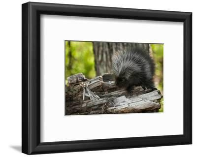 Baby Porcupine on a Tree Stump