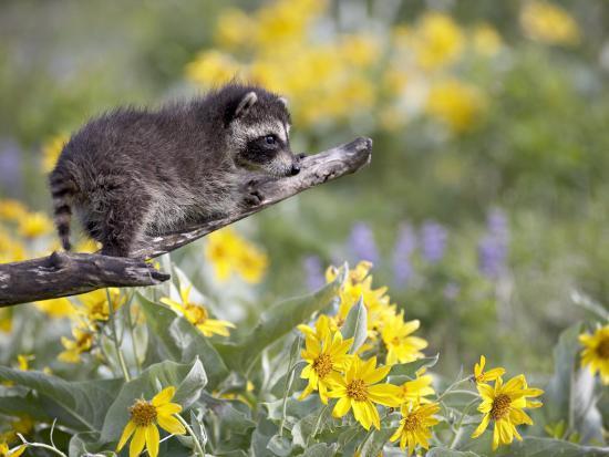 Baby Raccoon in Captivity, Animals of Montana, Bozeman, Montana, USA-James Hager-Photographic Print