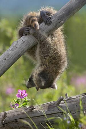 https://imgc.artprintimages.com/img/print/baby-raccoon-upside-down-montana-usa_u-l-q13cak00.jpg?p=0