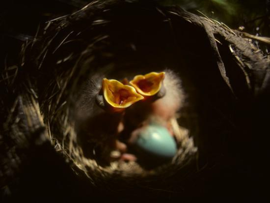 Baby Robins Begging for Food with Unhatched Egg-Michael S^ Quinton-Photographic Print