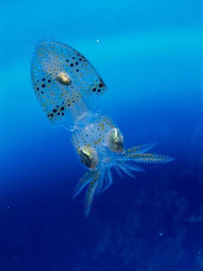 Baby Squid--Photographic Print