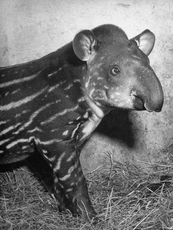 Baby Tapir-Cornell Capa-Photographic Print