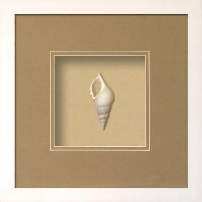Baby Tibia Shell Shadowbox - Sand--Dimensional Product