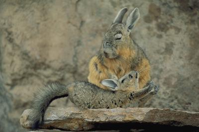 Baby Viscacha in Full Stretch in Front of Its Resting Mother-Joel Sartore-Photographic Print