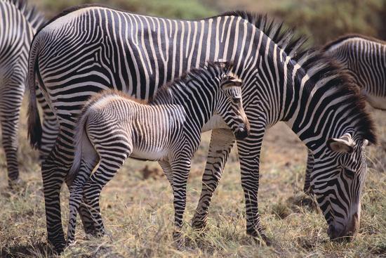 Baby Zebra and Mother-DLILLC-Photographic Print