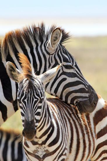 Baby Zebra with Mother-MattiaATH-Photographic Print