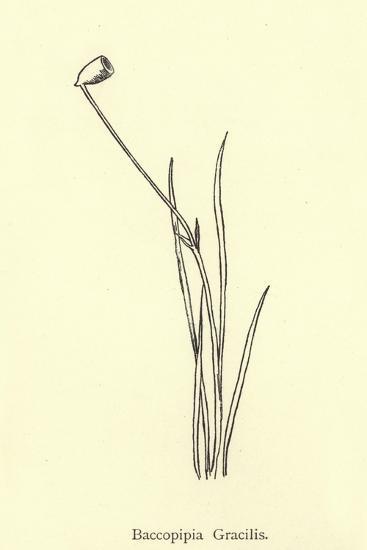 Baccopipia Gracilis-Edward Lear-Giclee Print