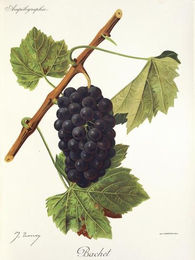 Bachet Grape-J. Troncy-Giclee Print