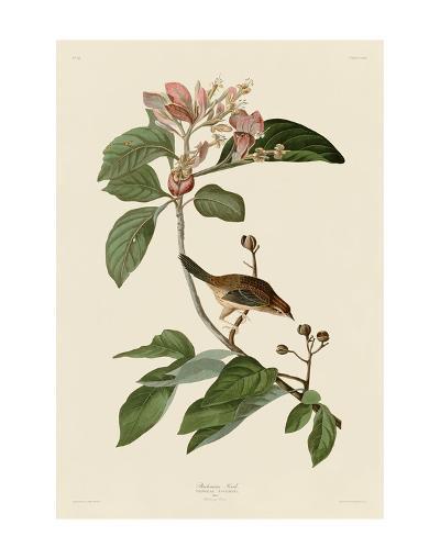 Bachmans Finch-John James Audubon-Art Print