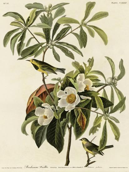 Bachmans Warbler--Giclee Print