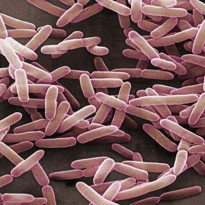 Bacillus Subtilis is a Rod Shaped, Gram-Positive Bacteria, SEM-David Phillips-Photographic Print