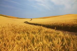 Back Country Road Winding Though Harvest Wheat Field