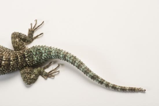 Back End of a Crevice Spiny Lizard, Sceloporus Poinsettii.-Joel Sartore-Photographic Print