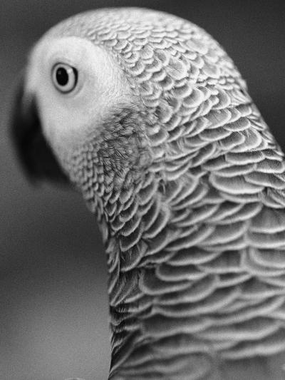 Back of Parrot's Head-Henry Horenstein-Photographic Print