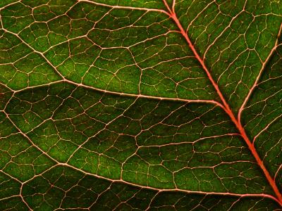 Backlit Close Up of a Rose Leaf, with Visible Veins-Jozsef Szentpeteri-Photographic Print