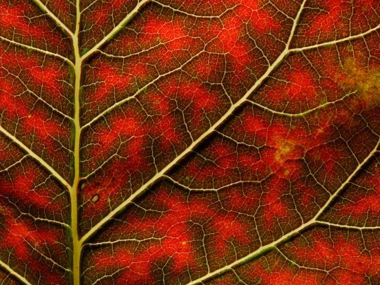 Backlit Close Up of a Smoke Tree Leaf, with Visible Veins-Jozsef Szentpeteri-Photographic Print