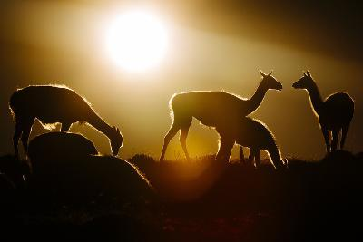 Backlit Guanaco (Lama Guanicoe) Torres Del Paine National Park, Patagonia, Chile-Jay Goodrich-Photographic Print