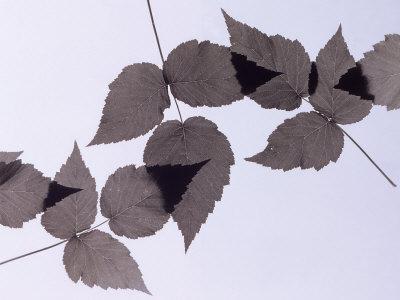 https://imgc.artprintimages.com/img/print/backlit-leaves_u-l-p3iqxs0.jpg?p=0