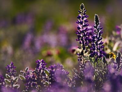 Backlit Lupine Flowers, Glacier National Park, Montana, USA-Adam Jones-Photographic Print