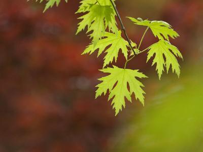 Backlit Maple Leaves on a Branch-Greg Dale-Photographic Print