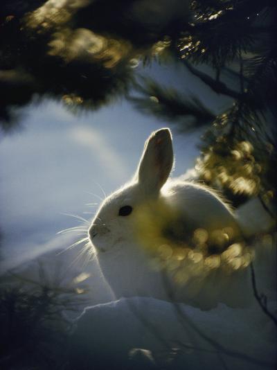 Backlit Portrait of a Little Snowshoe Hare in Winter Camouflage-Michael S^ Quinton-Photographic Print