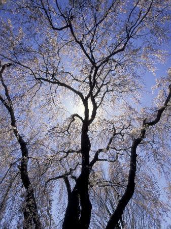 https://imgc.artprintimages.com/img/print/backlit-tree-and-blossoms-in-spring-lexington-kentucky-usa_u-l-p4i3bo0.jpg?p=0