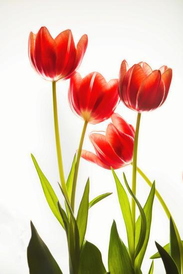 Backlit Tulip flowers against white background--Photographic Print