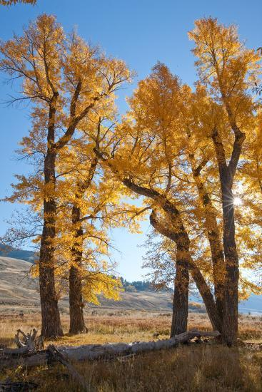 Backlit View of Cottonwood Trees with Autumn Foliage-Tom Murphy-Photographic Print