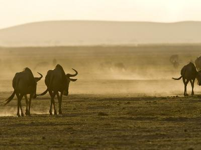 Backlit View of Wildebeests Walking Away-Michael Polzia-Photographic Print