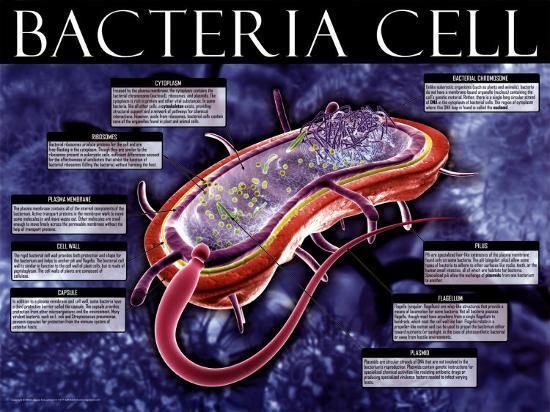 Bacteria Cell--Art Print