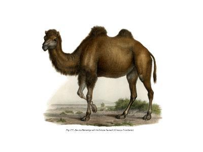 Bactrian Camel, 1860--Giclee Print