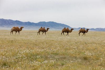 https://imgc.artprintimages.com/img/print/bactrian-camel-herd-gobi-desert-mongolia_u-l-q1d49vp0.jpg?p=0