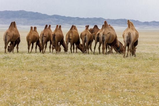Bactrian Camel Herd. Gobi Desert. Mongolia.-Tom Norring-Premium Photographic Print