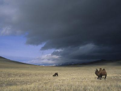 Bactrian Camels in Bayan-Ulgii,Mongolia-David Edwards-Photographic Print