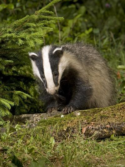 Badger, Climbing on Tree Stump, Vaud, Switzerland-David Courtenay-Photographic Print
