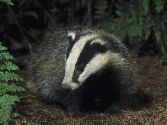 Badger, Close-up of Cub in Pine Woodland, UK-Mark Hamblin-Photographic Print