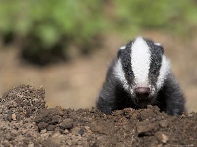 Badger Cub, Meles Meles, Captive, United Kingdom-Steve & Ann Toon-Photographic Print