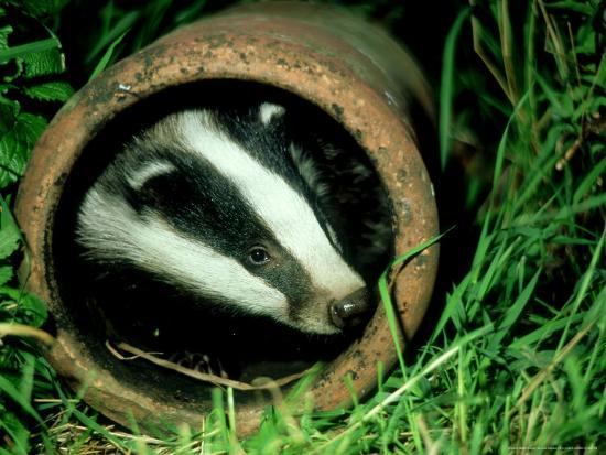 Badger, Young, UK-Les Stocker-Photographic Print