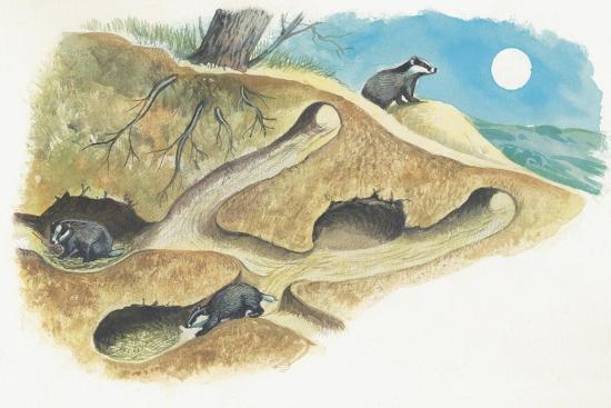 Badgers on a Den (Meles Meles)--Giclee Print