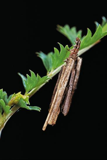 Bagworm Moth, Case Moth - Caterpillar Extending its Head and Thorax from the Case-Paul Starosta-Photographic Print