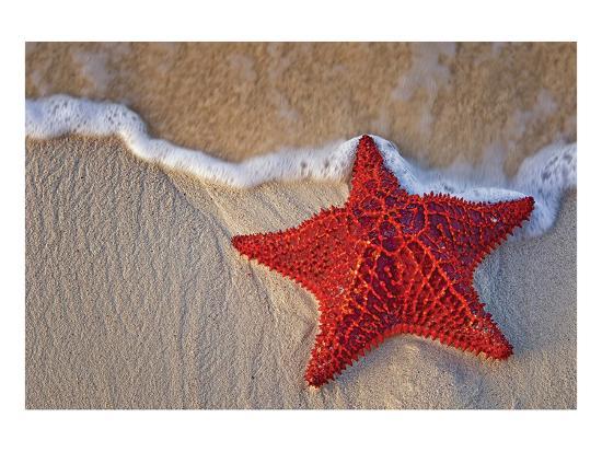 Bahama Starfish on the Beach--Art Print