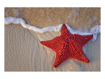 https://imgc.artprintimages.com/img/print/bahama-starfish-on-the-beach_u-l-f88ta40.jpg?p=0