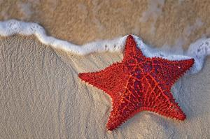 Bahama Starfish on the Beach