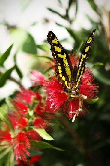 Baird's Swallowtail I-Alan Hausenflock-Photographic Print