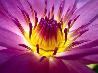 Lotus, Fresh Color, with Yellow Stamens of the Lotus Flower