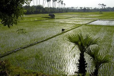 Paddy Fields, Tamil Nadu, India, Asia