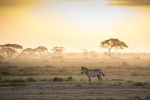 Zebras at sunset in Amboseli National Park, Kenya, East Africa, Africa by Balazs Solti